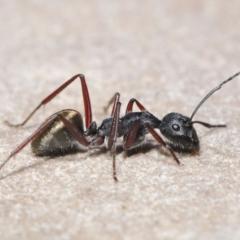 Camponotus suffusus at ANBG - 30 Mar 2021