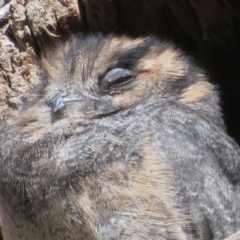 Aegotheles cristatus (Australian Owlet-nightjar) at ANBG - 26 Mar 2021 by Christine