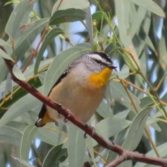 Pardalotus punctatus (Spotted Pardalote) at ANBG - 26 Mar 2021 by Christine