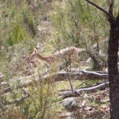 Dama dama (Fallow Deer) at Gigerline Nature Reserve - 30 Mar 2021 by ChrisHolder