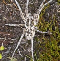 Tasmanicosa sp. (genus) (Unidentified Tasmanicosa wolf spider) at Namadgi National Park - 30 Mar 2021 by DerekC
