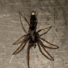 Lampona cylindrata (White-tailed spider) at Wandiyali-Environa Conservation Area - 28 Mar 2021 by Wandiyali