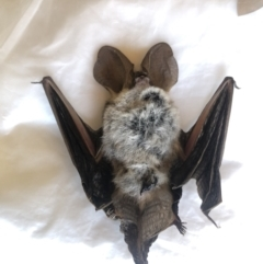 Nyctophilus sp. (genus) (A long-eared bat) at Boro, NSW - 31 Mar 2021 by mcleana
