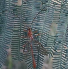 Ichneumonidae sp. (family) (Unidentified ichneumon wasp) at Goorooyarroo - 30 Mar 2021 by Ned_Johnston