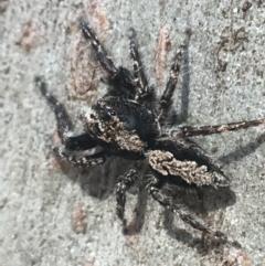 Clynotis severus (Stern Jumping Spider) at Goorooyarroo - 30 Mar 2021 by Ned_Johnston
