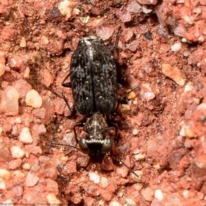 Scopodes sp. (genus) at ANBG - 31 Mar 2021