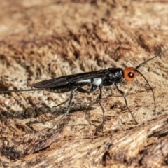 Callibracon capitator (White Flank Black Braconid Wasp) at ANBG - 31 Mar 2021 by Roger