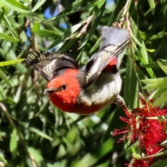 Myzomela sanguinolenta (Scarlet Honeyeater) at ANBG - 31 Mar 2021 by RodDeb