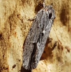 Agriophara platyscia (A Gelechioid moth) at Black Mountain - 31 Mar 2021 by tpreston