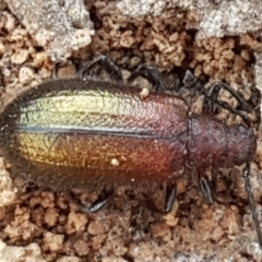 Lagriini sp. (tribe) (Unidentified lagriine darkling beetle) at Black Mountain - 31 Mar 2021 by tpreston