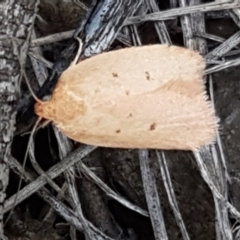 Garrha rubella (A Concealer moth) at Black Mountain - 31 Mar 2021 by tpreston