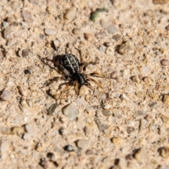 Unidentified Other hunting spider (TBC) at Cooleman Ridge - 26 Mar 2021 by SWishart