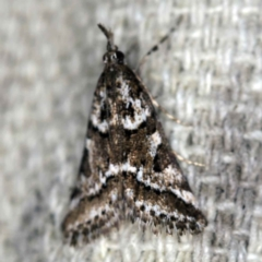 Phanomorpha dapsilis (A Crambid moth) at O'Connor, ACT - 29 Mar 2021 by ibaird