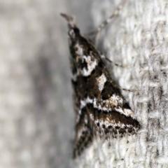 Phanomorpha dapsilis at O'Connor, ACT - 29 Mar 2021