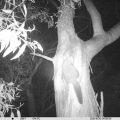 Trichosurus vulpecula (Common Brushtail Possum) at Albury - 29 Oct 2020 by DMeco
