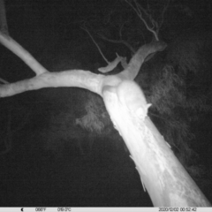 Trichosurus vulpecula (Common Brushtail Possum) at Albury - 1 Dec 2020 by DMeco