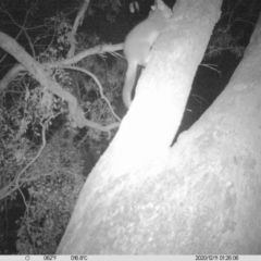 Trichosurus vulpecula (Common Brushtail Possum) at Eight Mile Creek - 10 Dec 2020 by DMeco
