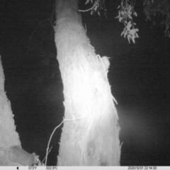Rattus rattus (Black Rat) at Eight Mile Creek - 1 Dec 2020 by DMeco