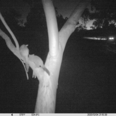 Trichosurus vulpecula (Common Brushtail Possum) at Albury - 4 Dec 2020 by DMeco
