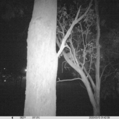 Trichosurus vulpecula (Common Brushtail Possum) at Albury - 12 Mar 2020 by DMeco