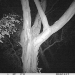 Trichosurus vulpecula (Common Brushtail Possum) at Albury - 20 Mar 2020 by DMeco