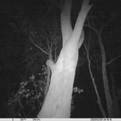 Trichosurus vulpecula (Common Brushtail Possum) at Albury - 25 Mar 2020 by DMeco