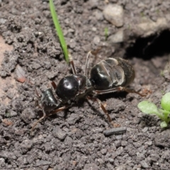 Iridomyrmex sp. (genus) (Ant) at ANBG - 28 Mar 2021 by TimL