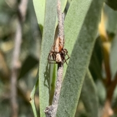 Oxyopes sp. (genus) (Lynx spider) at Murrumbateman, NSW - 25 Mar 2021 by SimoneC