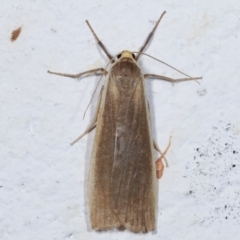 Palaeosia bicosta (Two-ribbed Footman) at Melba, ACT - 27 Mar 2021 by kasiaaus