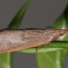 Ocrasa acerasta (A Pyralid moth) at Melba, ACT - 27 Mar 2021 by kasiaaus