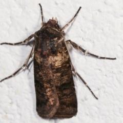 Agrotis porphyricollis (Variable Cutworm) at Melba, ACT - 28 Mar 2021 by kasiaaus