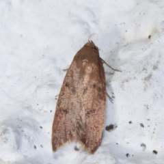 Tachystola acroxantha (A Concealer moth) at Melba, ACT - 27 Mar 2021 by kasiaaus