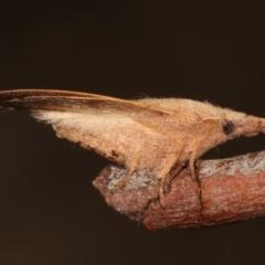 Pararguda nasuta (Wattle Snout Moth) at Melba, ACT - 28 Mar 2021 by kasiaaus