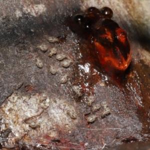 Myopsocus sp. (genus) at ANBG - 26 Feb 2021