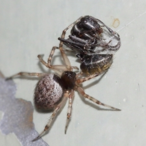 Euryopis sp. (genus) at ANBG - 5 Feb 2021