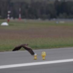 Milvus migrans (Black Kite) at Canberra, ACT - 27 Mar 2021 by millsse