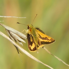 Ocybadistes walkeri (Greenish Grass-dart) at Kambah, ACT - 30 Mar 2021 by MatthewFrawley