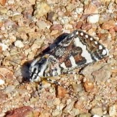 Apina callisto (Pasture Day Moth) at Coree, ACT - 1 Apr 2021 by JohnBundock