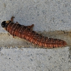 Pseudoperga sp. (genus) (TBC) at Tidbinbilla Nature Reserve - 28 Mar 2021 by JohnBundock