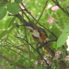 Acanthorhynchus tenuirostris (Eastern Spinebill) at Murrumbateman, NSW - 21 Mar 2021 by SimoneC