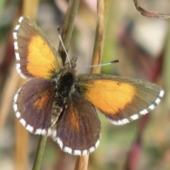 Lucia limbaria (Chequered Copper) at Hawker, ACT - 1 Apr 2021 by RobParnell