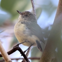 Acanthiza reguloides (Buff-rumped Thornbill) at Albury - 1 Apr 2021 by Kyliegw