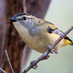 Pardalotus punctatus (Spotted Pardalote) at Nail Can Hill - 1 Apr 2021 by Kyliegw