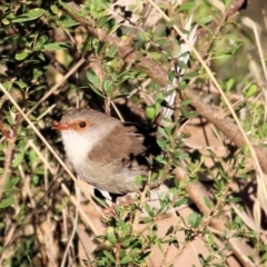 Malurus cyaneus (Superb Fairywren) at Albury - 1 Apr 2021 by Kyliegw