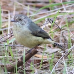 Acanthiza reguloides (Buff-rumped Thornbill) at Nail Can Hill - 1 Apr 2021 by Kyliegw