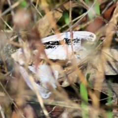 Unidentified Moth (Lepidoptera) (TBC) at Albury - 1 Apr 2021 by Kyliegw