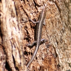 Cryptoblepharus pannosus (Ragged Snake-eyed Skink) at Albury - 1 Apr 2021 by Kyliegw