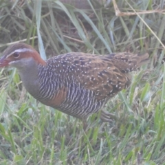 Gallirallus philippensis (Buff-banded Rail) at Murrumbateman, NSW - 31 Mar 2021 by SimoneC
