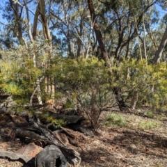 Acacia terminalis (Sunshine Wattle) at Currawang, NSW - 2 Apr 2021 by camcols