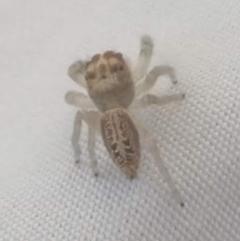 Opisthoncus grassator (Jumping spider) at Lyneham, ACT - 2 Apr 2021 by Venture